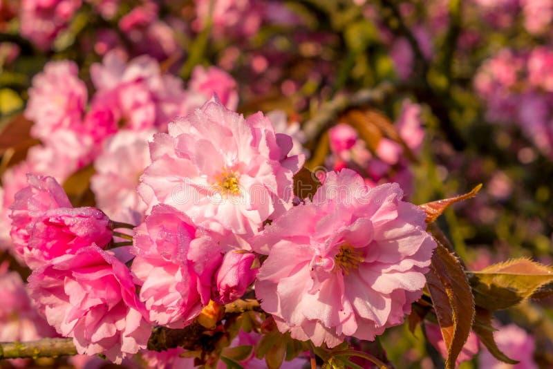 Macro vibrant de fleur de cerise-Sakura avec des baisses de l'eau photographie stock