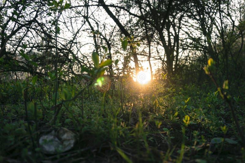 Macro vicina su delle erbacce e dell'erba con il tramonto e gli alberi immagine stock
