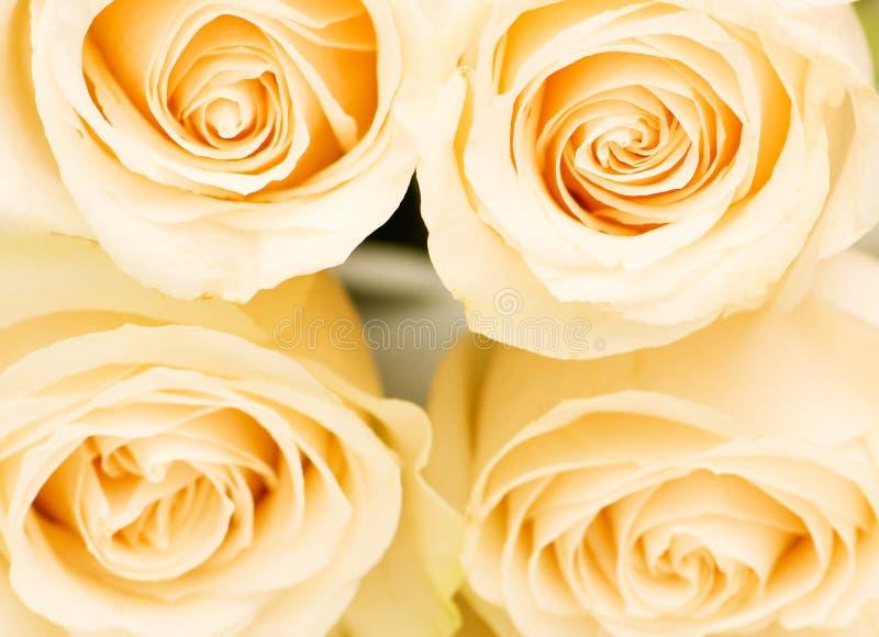 Macro vicina in su di quattro rose bianche fotografia stock