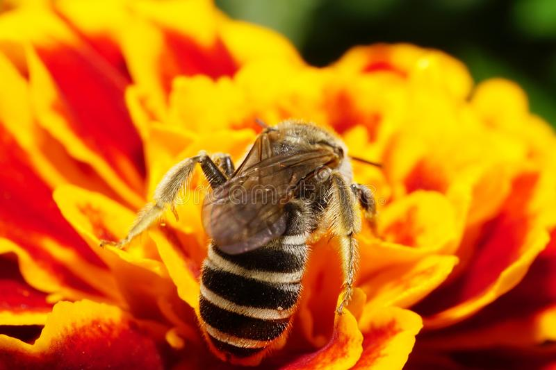 Macro view of the abdomen and the wings of a bee on a wild Caucasian tagetes royalty free stock photography