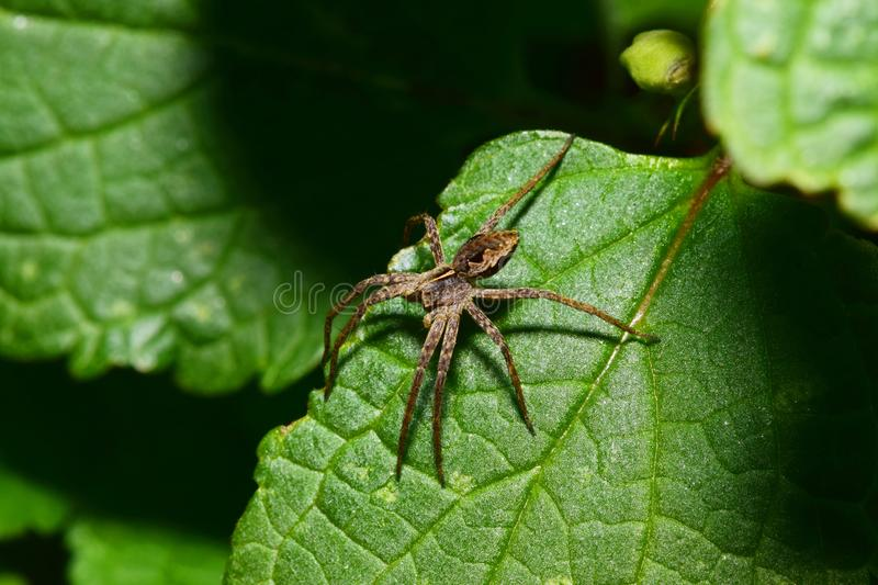 Macro view from above of brown-gray young spider-wolf Arachnid stock photos