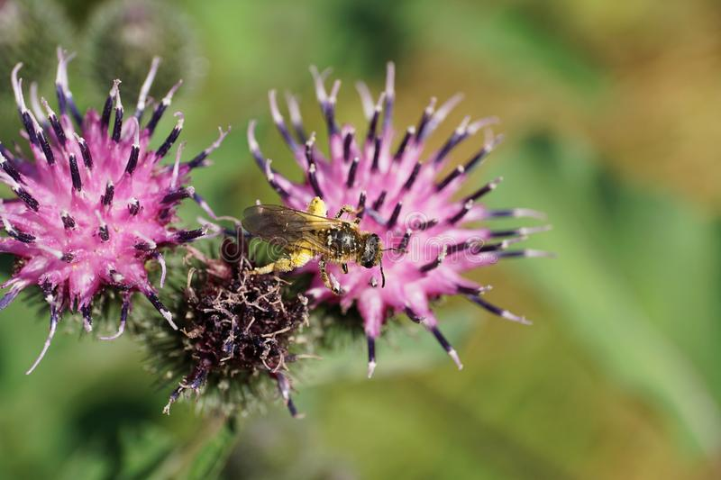 Macro view from above of fluffy Caucasian wild bee Macropis fulvipes on inflorescences of agrimony Arctium lappa in summer royalty free stock photos