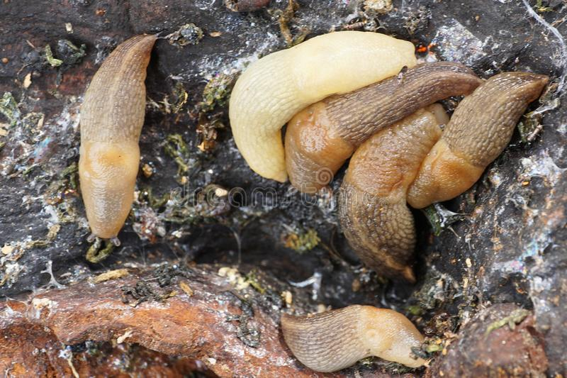 Macro view from above of multicolored adults of light Caucasian. Slug of forest Arion ater sitting on bark tree in mountain forest of Caucasus stock image
