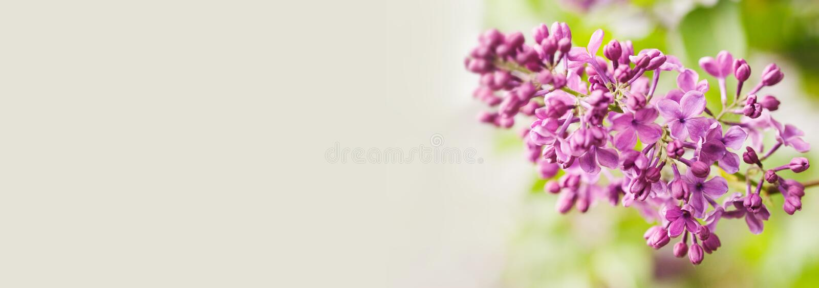 Macro view blossoming Syringa lilac bush. Springtime landscape with bunch of violet flowers. lilacs blooming plants royalty free stock photos