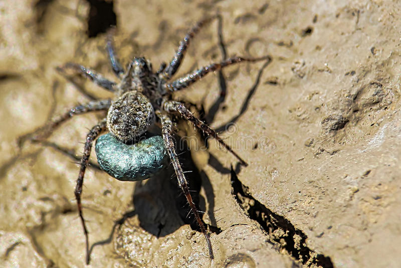 Brown Sac Spider 1 Stock Photo Image Of Brown Webs