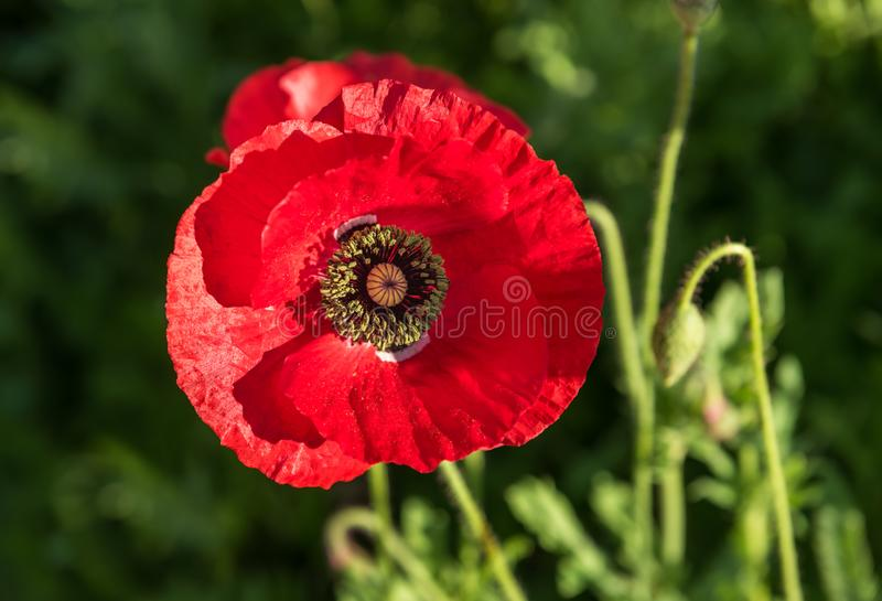 Macro view of bright red poppy flower. With diffuse background royalty free stock image