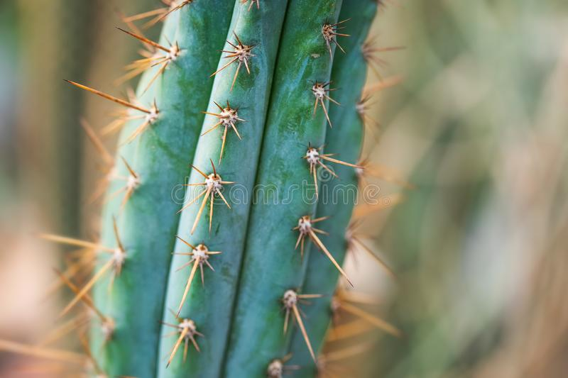Macro view cactus evergreen succulent plant. Beautiful exotic houseplant background, texture pattern and spike leaves. Shallow depth of field selective focus stock photos