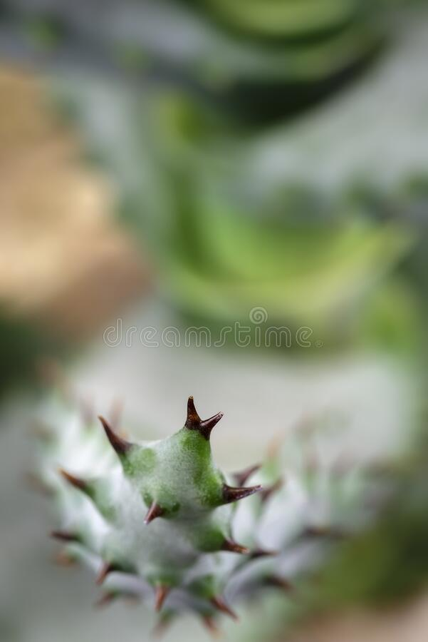 Macro view of cactus thorns royalty free stock photo