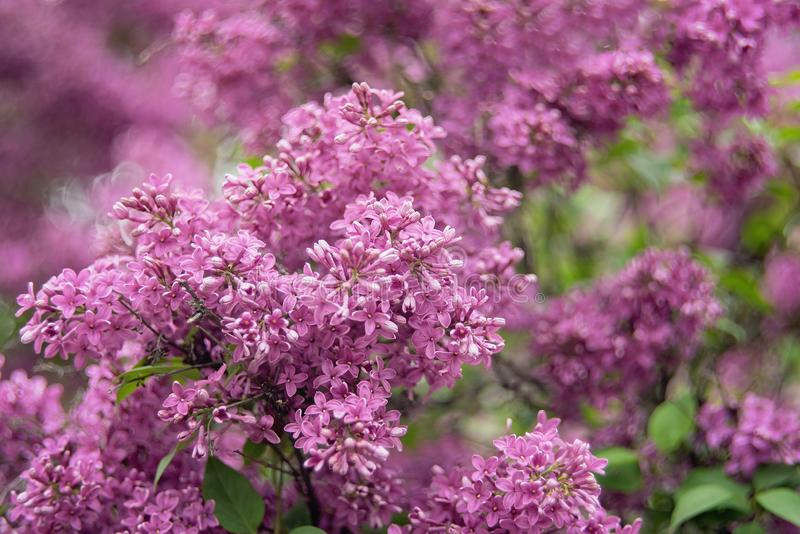 Macro view of flower lilac. A beautiful bunch of lilac closeup. Bush Bloom. flowers in the garden. Soft selective focus. Macro view of flower lilac. beautiful royalty free stock photo