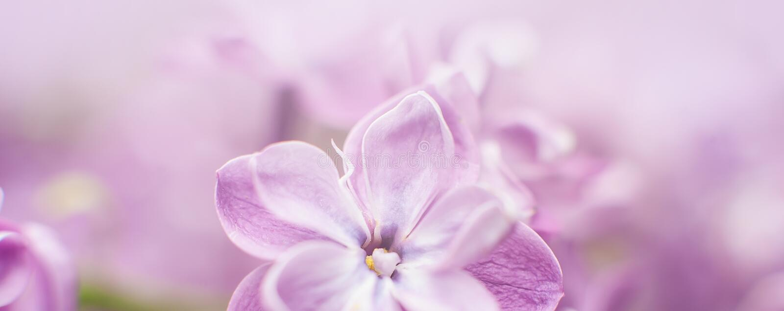 Macro view of flower lilac. A beautiful bunch of lilac closeup. Bush Bloom. flowers in the garden. Soft selective focus. Wide banner, spring, background, balmy royalty free stock photos