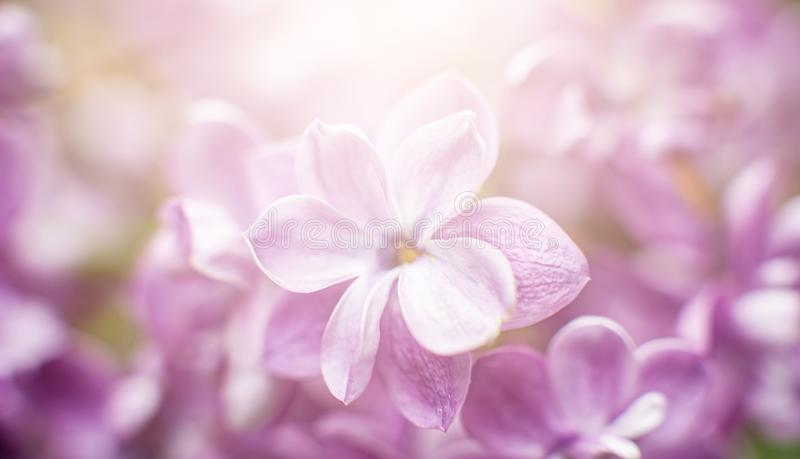 Macro view of flower lilac. A beautiful bunch of lilac closeup. Bush Bloom. flowers in the garden. Soft selective focus. Copy space, spring, background, balmy stock photo
