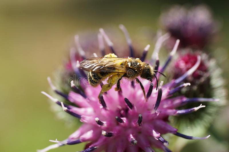 Macro view of fluffy Caucasian wild bee Macropis fulvipes on inf stock photo