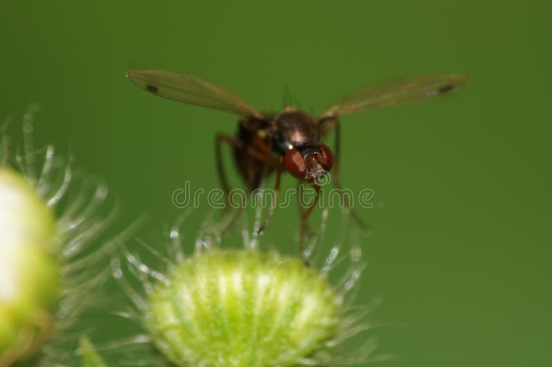 Macro view from the front of a black Caucasian fly ants on a flu stock photography