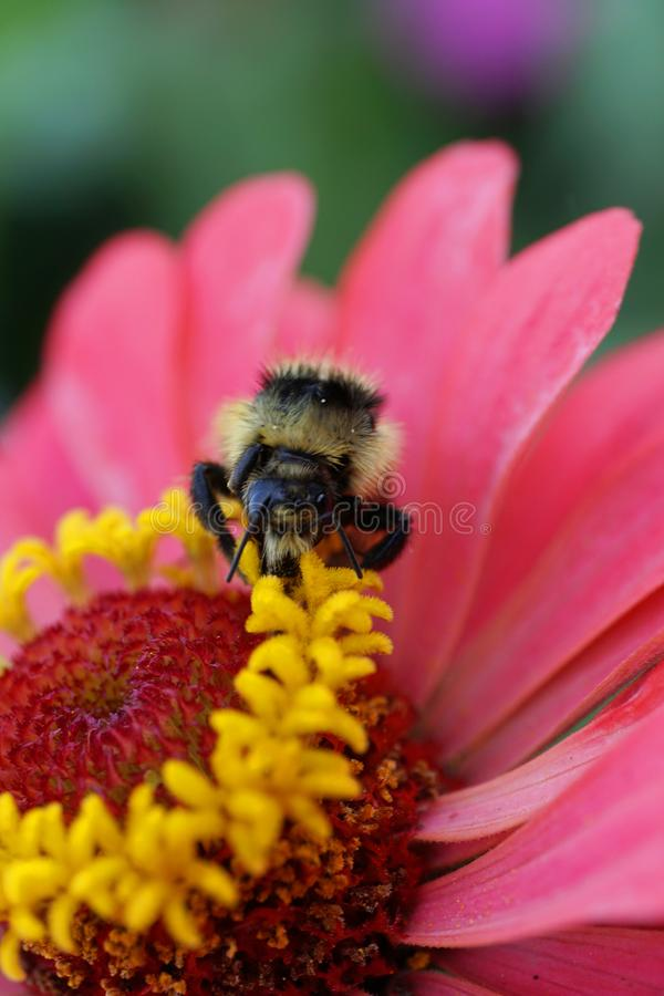 Macro view from front of a Caucasian striped Bumblebee serri royalty free stock photos
