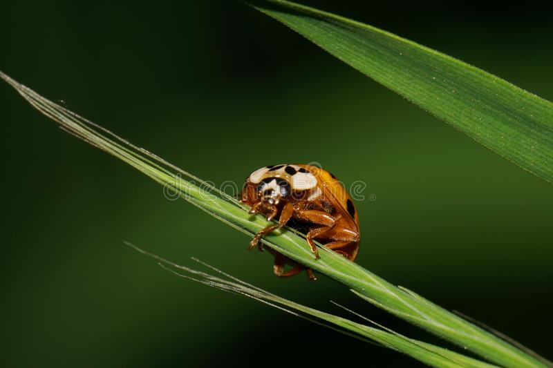 Macro view from the front of the Caucasian yellow ladybird hanging on a narrow green leaf spikelet stock photo