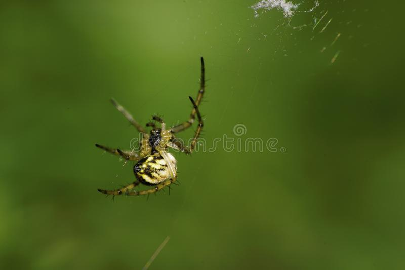 Macro newly hatched young Caucasian Araneus spider on a green ba stock image