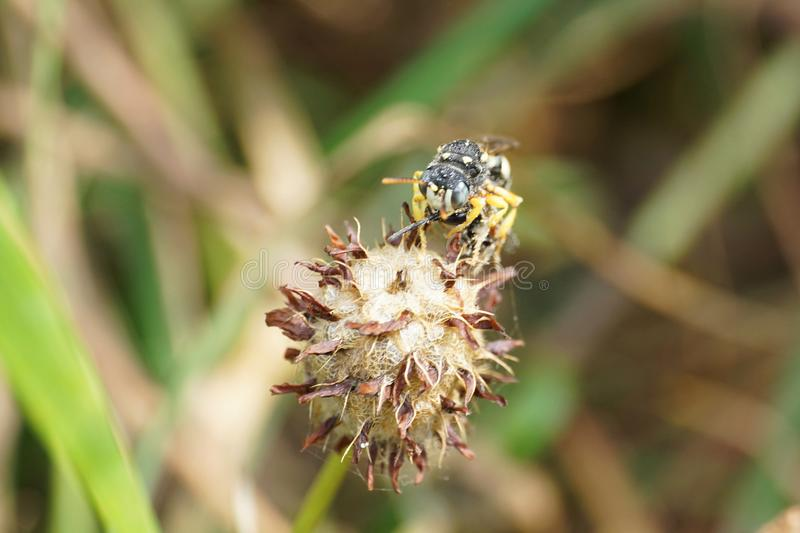 Macro view from the front of a small sandy Caucasian wasp Ammatomus rogenhoferi sitting on the head of a flower clover royalty free stock photo