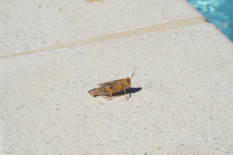 Grasshopper by the pool stock images