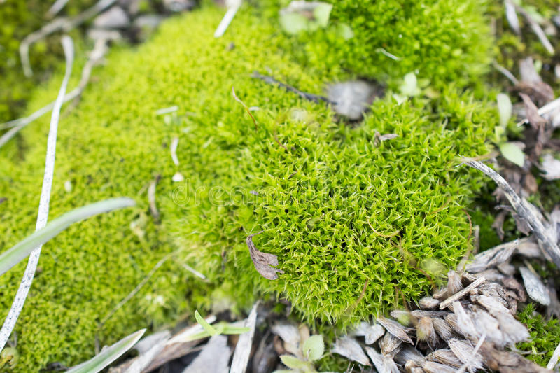 Macro view of green moss royalty free stock image