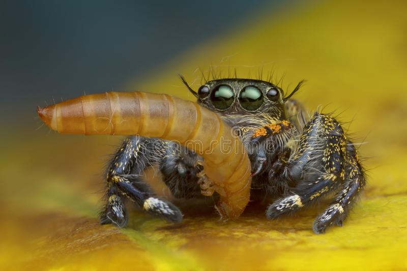 Macro view image of jumping spider eating worm on yellow leaf background in nature. Outdoor royalty free stock photos