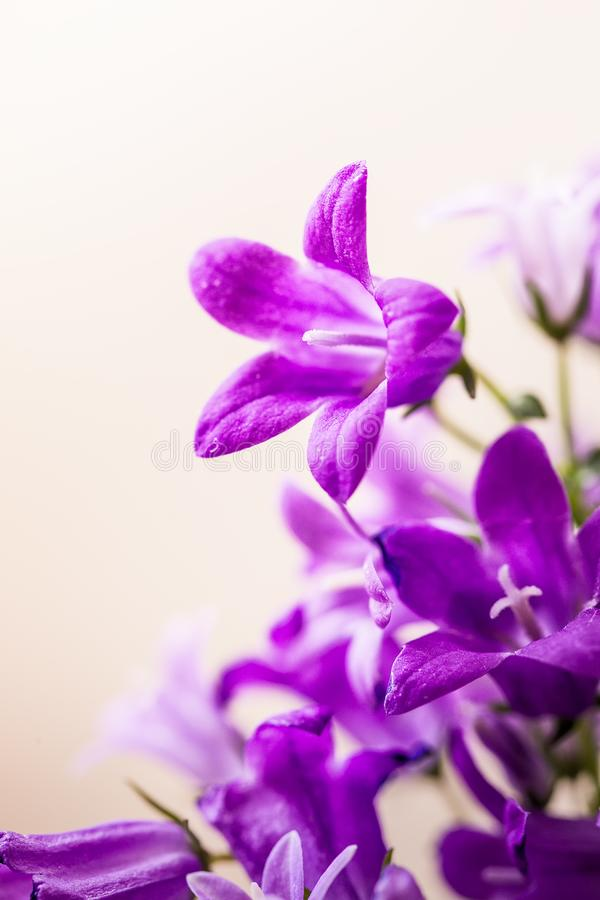 Little Campanula flowers royalty free stock photography