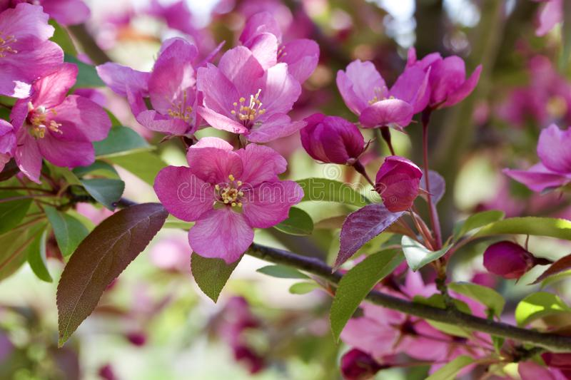 Macro view of pretty pink crabapple flower blossoms with soft focus background. Closeup view of a attractive pink crabapple blossoms in full bloom with blue sky stock images