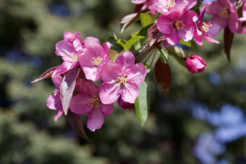 Macro view of pretty pink crabapple flower blossoms with soft focus background. Closeup view of a attractive pink crabapple blossoms in full bloom with blue sky stock photos