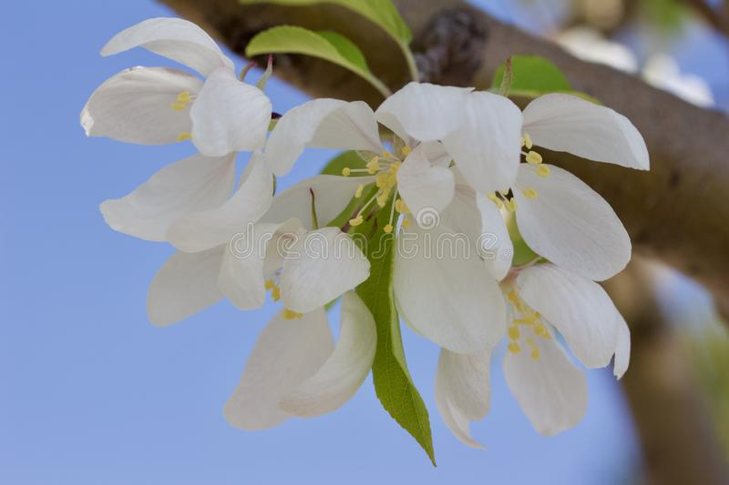 Macro view of pretty white crabapple flower blossoms with soft focus background. Closeup view of a attractive white crabapple blossoms in full bloom with blue stock photo