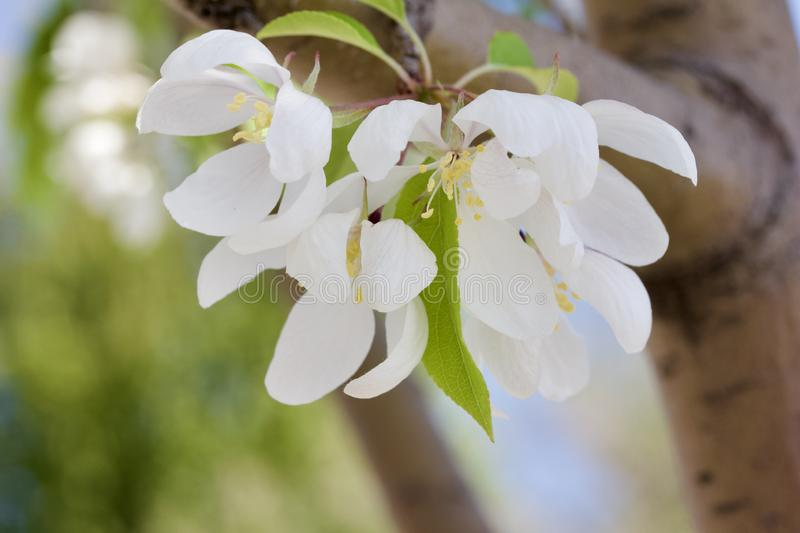 Macro view of pretty white crabapple flower blossoms with soft focus background. Closeup view of a attractive white crabapple blossoms in full bloom with blue royalty free stock photography