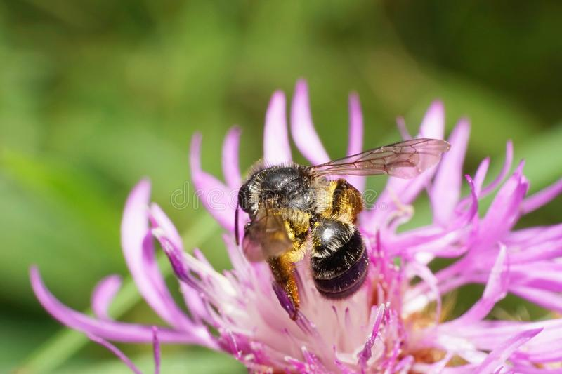 Macro view of the side of a dark little Caucasian bee Andrena ni royalty free stock images