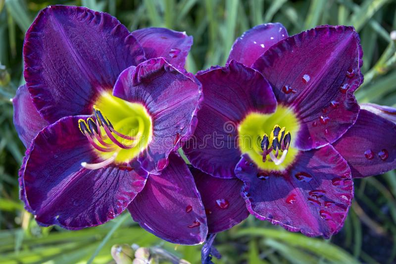 Macro view of two stunning purple day lilies royalty free stock photography