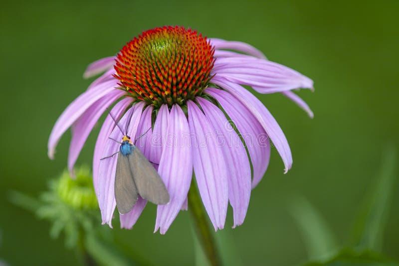 Macro view of Virginia ctenucha moth on purple coneflower stock images