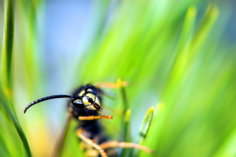 Macro View of a Yellowjacket Wasp Hanging to Green Pine Tree Needles Looking into the Camera on a Sunny Day.  stock photos