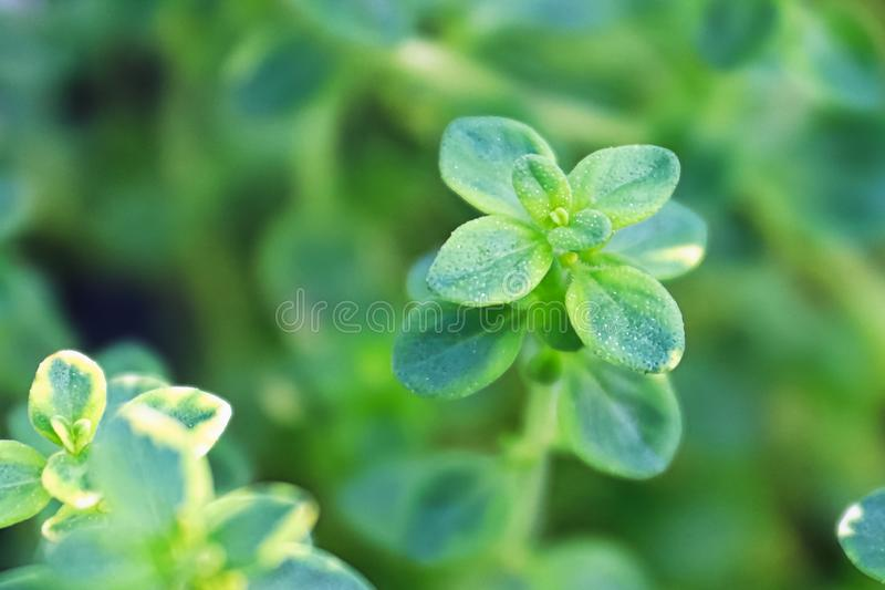 Macro views of the the center of thyme leaves growing.  royalty free stock photography