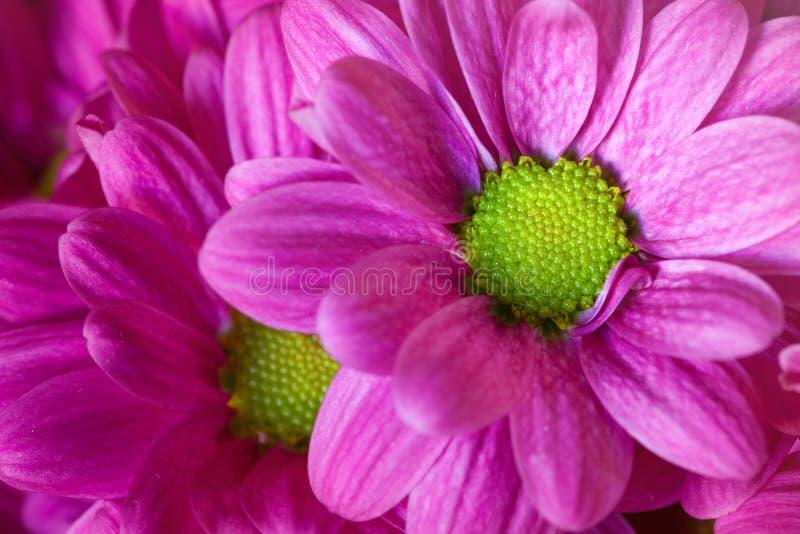 Macro violet flower and petals. Open flowers stock photo