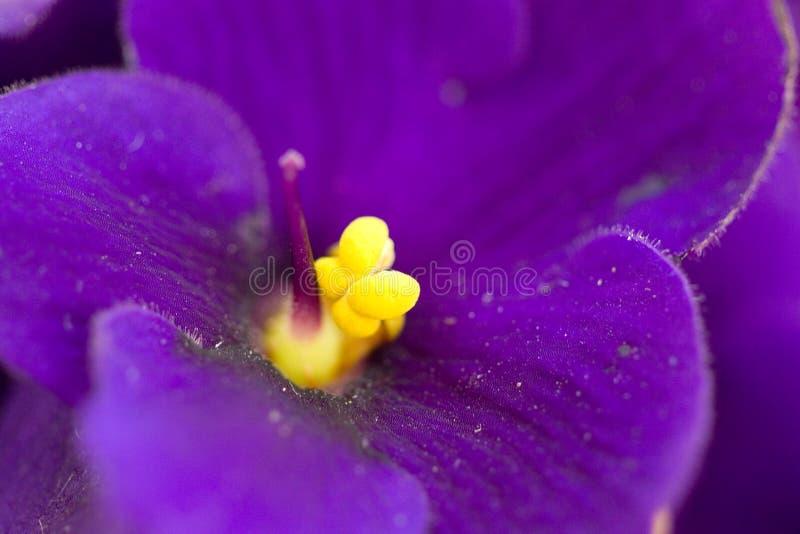 Macro violeta fotografía de archivo libre de regalías