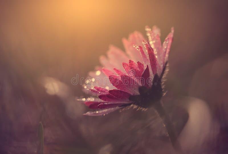 Macro vista del fiore della margherita nel tramonto fotografia stock