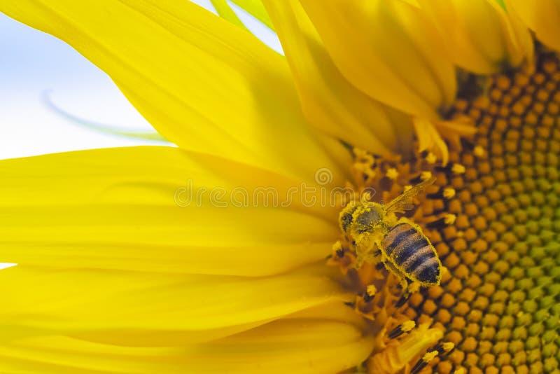 Macro vista del processo della raccolta del miele, ape che impollina bello girasole con il cielo sui precedenti immagini stock libere da diritti