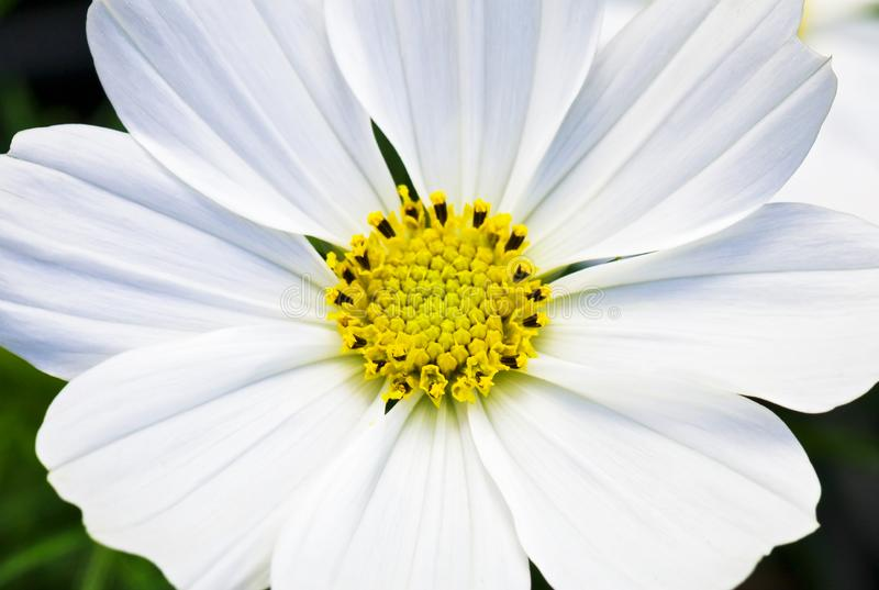 Macro vista di un fiore bianco di Cosmo immagini stock