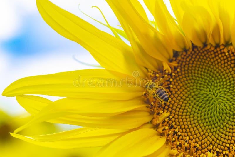 Macro vista variopinta dei semi di girasole d'impollinazione dell'ape dell'ape mellifica con il cielo nuvoloso blu, processo dell immagine stock libera da diritti