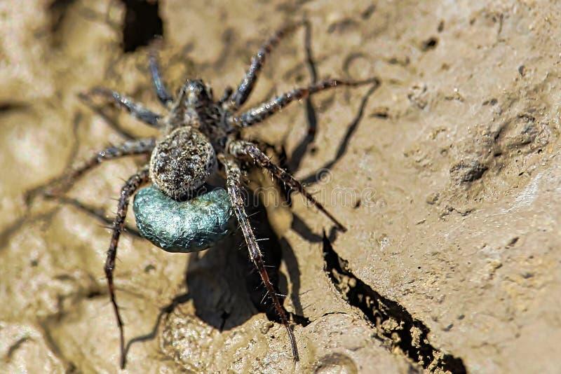 Macro vue d'un sac bleu d'oeufs de Wolf Spider images libres de droits