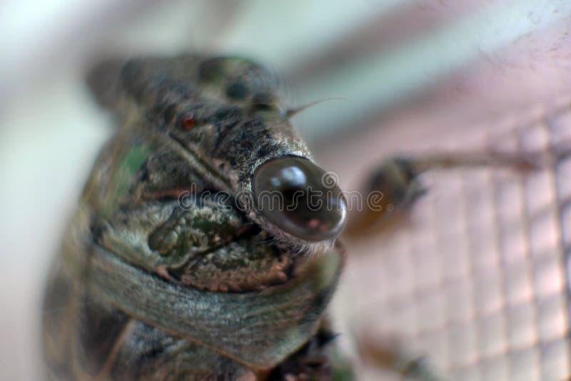 Macro vue de l'oeil de la cigale image libre de droits