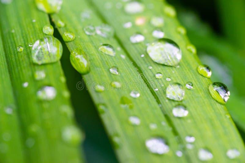 Macro vue des baisses de l'eau sur des feuilles de lis tigré photos libres de droits