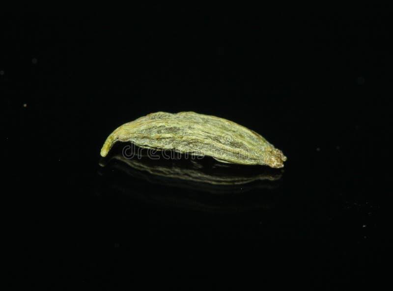 Macro vulgare de Foeniculum de graine de fenouil photographie stock