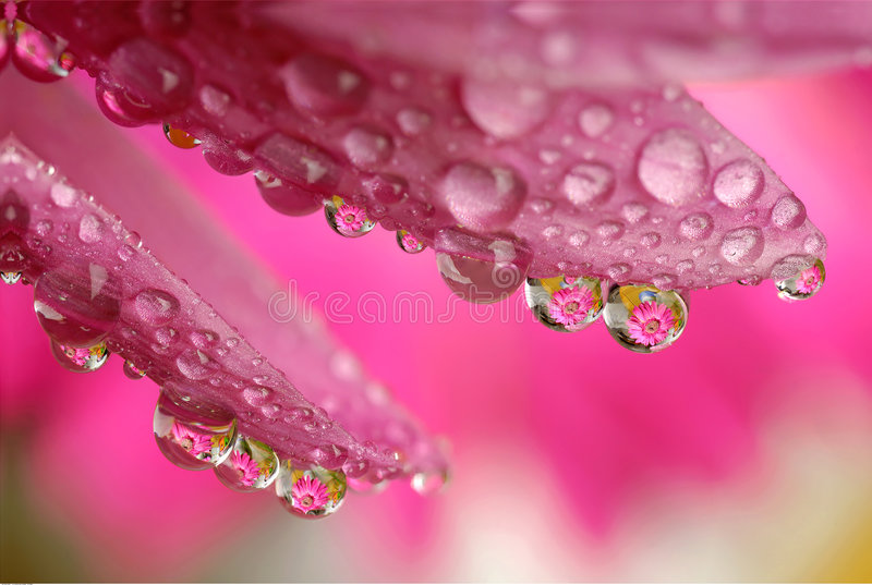 Macro water drop flower. Reflected Macro flower in water drop stock image