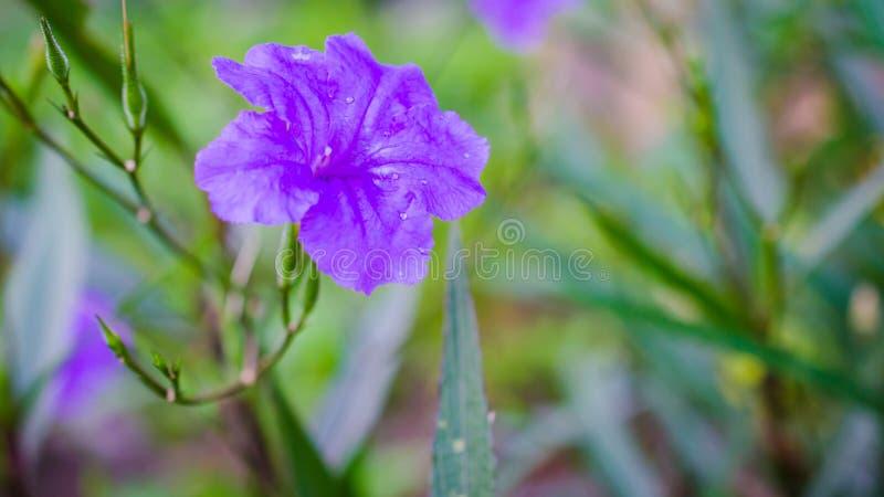 Macro water drop on purple flower. In garden royalty free stock photography