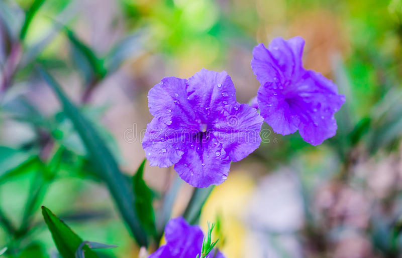 Macro water drop on purple flower in garden. On colorful blur royalty free stock images