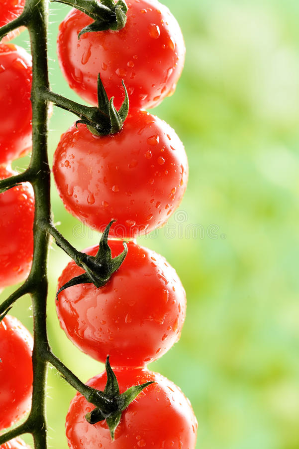 Macro - Water Droplets on Tomato Plant. In greenhouse. soilless agricultural concept royalty free stock photo