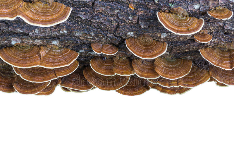 Macro wet brown bracket fungus on wood isolated on white. Saved royalty free stock photo