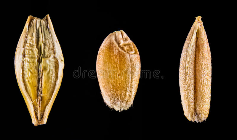 Macro of Wheat Barley and Rye stock images